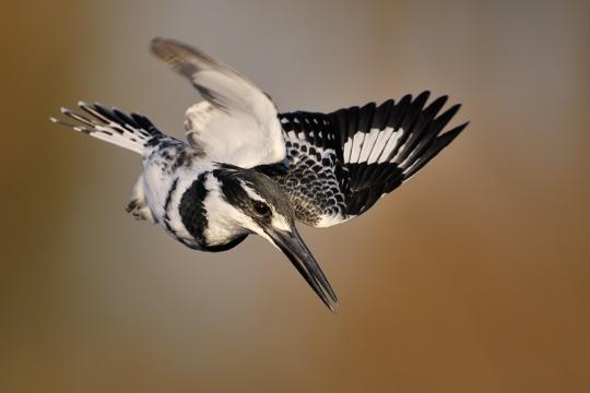 Pied-Kingfisher_1205001369_EJLandsberg
