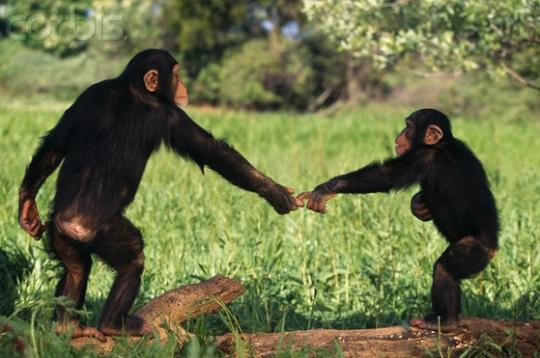 chimpanzees-and-bonobos_1818_1