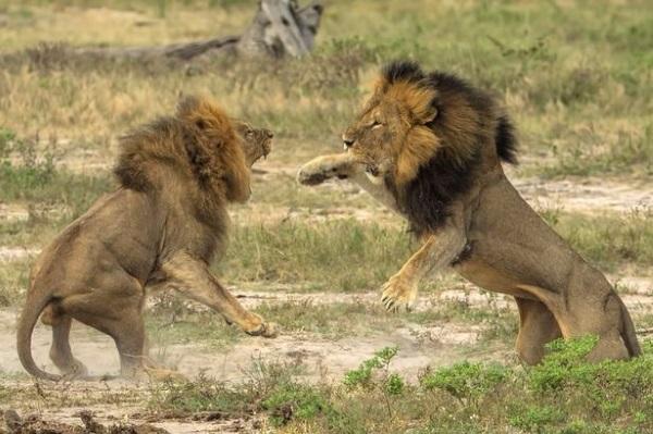 Cecil die leeu