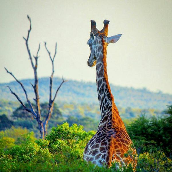 Girrafe in Kruger