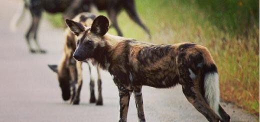 Wild dogs in Kruger national Park