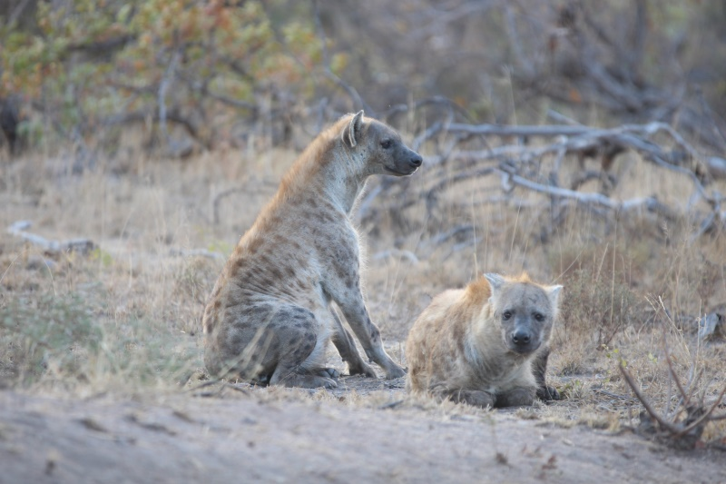 Hyenas in Kruger National Park
