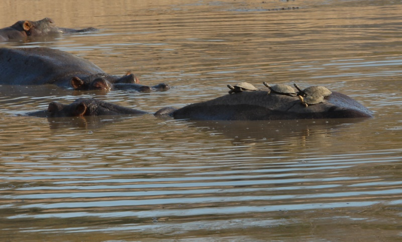 Hippo with terrapins in Kruger Park South Africa