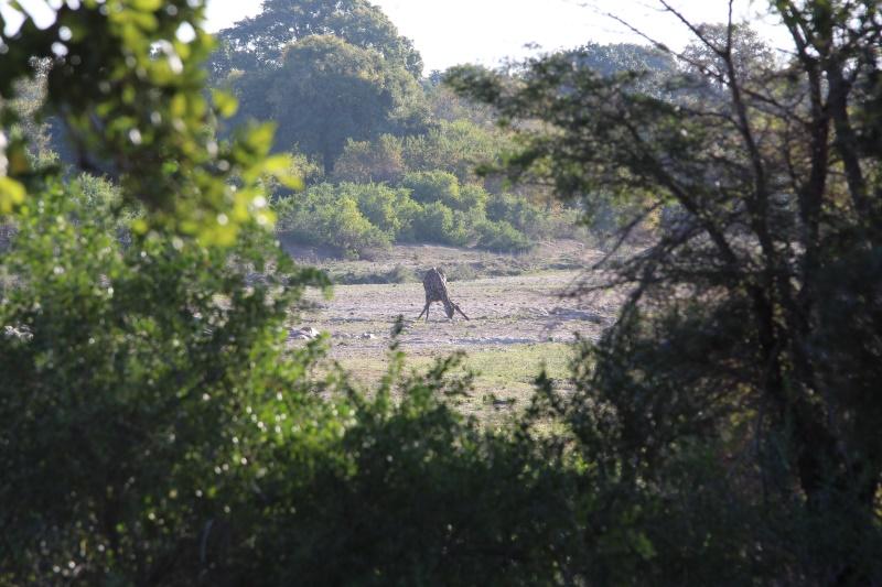 Kruger kameelperd