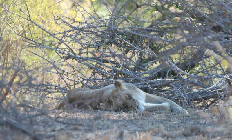 gevaaaliKruger leeu (13)