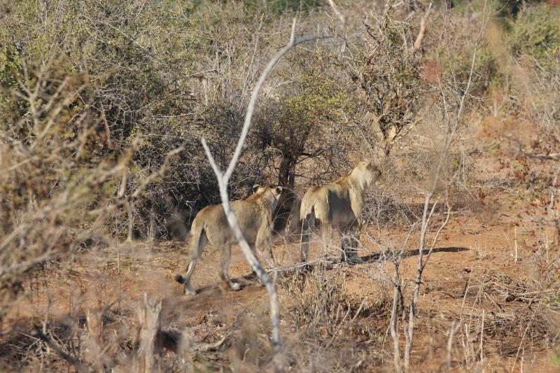 gevaaaliKruger leeu (6)