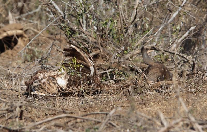 gevaaaliKruger leeu (9)