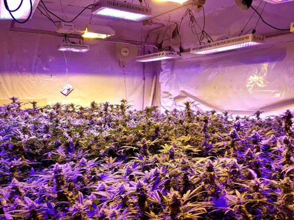 An indoor cannabis grow using LED lighting