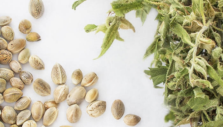 dagga seeds