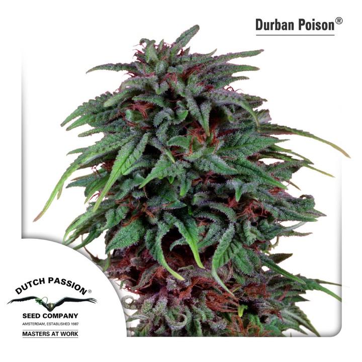 Durban Poison is a South African cannabis strain