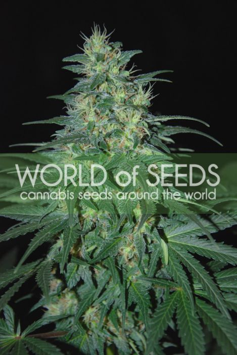 South African Cannabis seeds